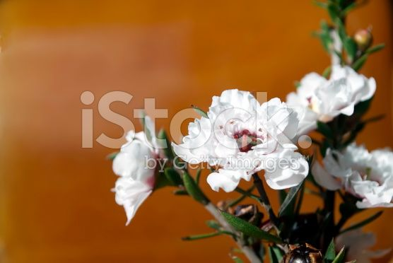 Manuka Honey and Flower in Soft Focus royalty-free stock photo
