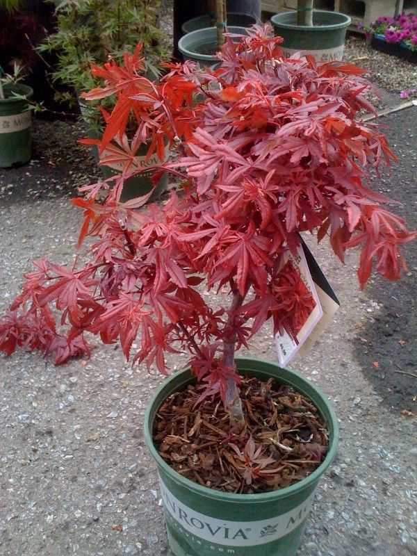 Shaina is a new Japanese maple with a dwarf, compact form. Bright red new foliage matures to deep maroon-red. Slow grower to about 6 to 8 feet tall or clip to shape. Prefers filtered sun. Hardy to -20 to -10 degrees. Shaina's smaller stature is excellent for foundation beds around homes and in naturalistic drifts of landscape. They are ideal for urban gardens where plants are protected by buildings from wind and sun. Maples even do well in large containers for porch, patio or terrace.