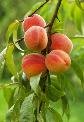 The Danger of Peach A Feng Shui Color Warning