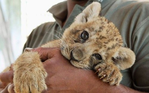 : Big Cat, Cutest Baby, Puppys Eye, Chewing Toys, Jordans, Baby Lion, The Zoos, Lion Cubs, Adorable Animal