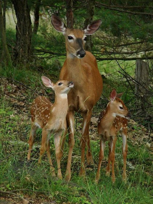 A Doe Deer ~ With Her Two Fawns.