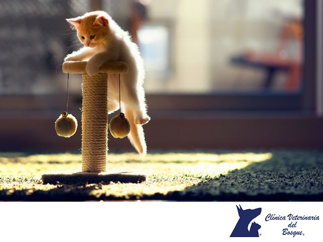 LA MEJOR CLÍNICA VETERINARIA DE MÉXICO. Para mantener en forma a tu gato, es importante que le permitas que salga al exterior, es decir, que pasee por el jardín. Durante estos recorridos podrá correr, jugar, explorar e incluso intentará cazar. Si tu mascota es un gato de interior y pasa todo el tiempo dentro del hogar, es imprescindible que le proporciones juegos. En Clínica Veterinaria del Bosque, contamos con médicos especialistas para atender a tu mascota. #veterinariadelbosque