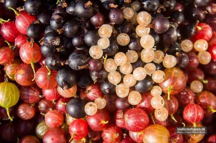 Stikkelsbær, jostabær og hvide ribs