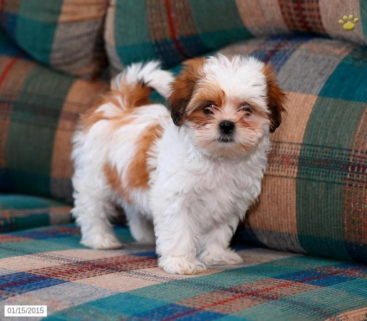 Chloe Shih Tzu Puppy For Sale In Drumore Pa Shih Tzu Puppy Puppies For Sale Puppies
