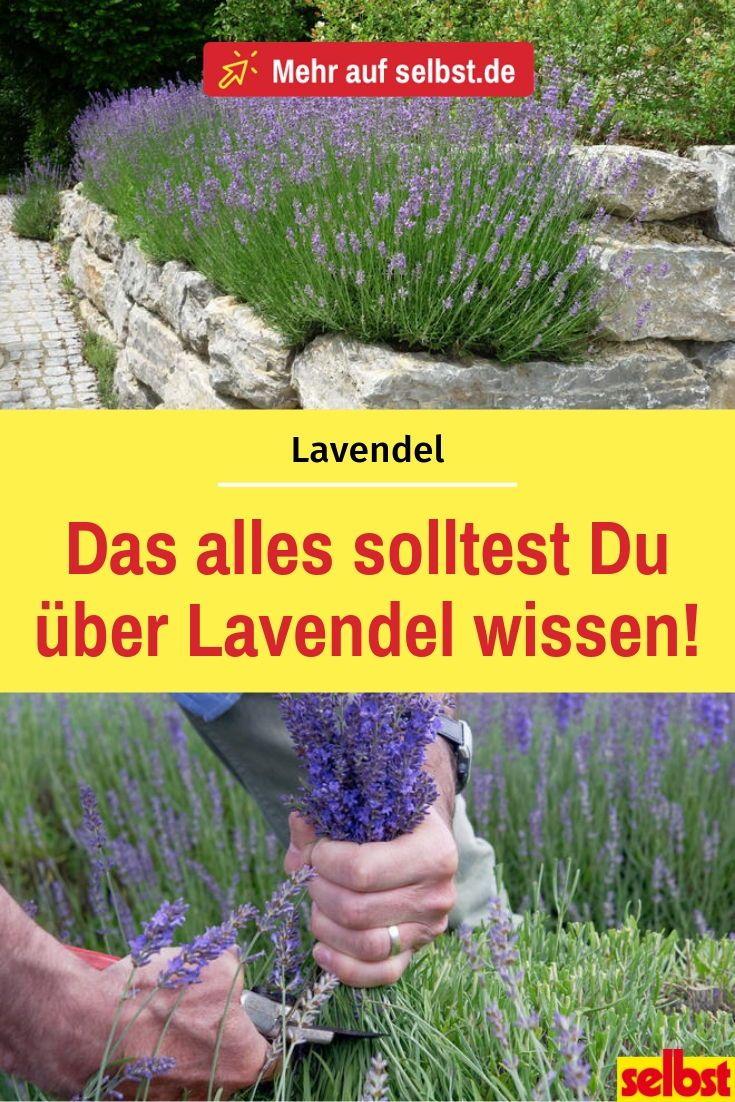 Lavendel – selbst ist der Mann
