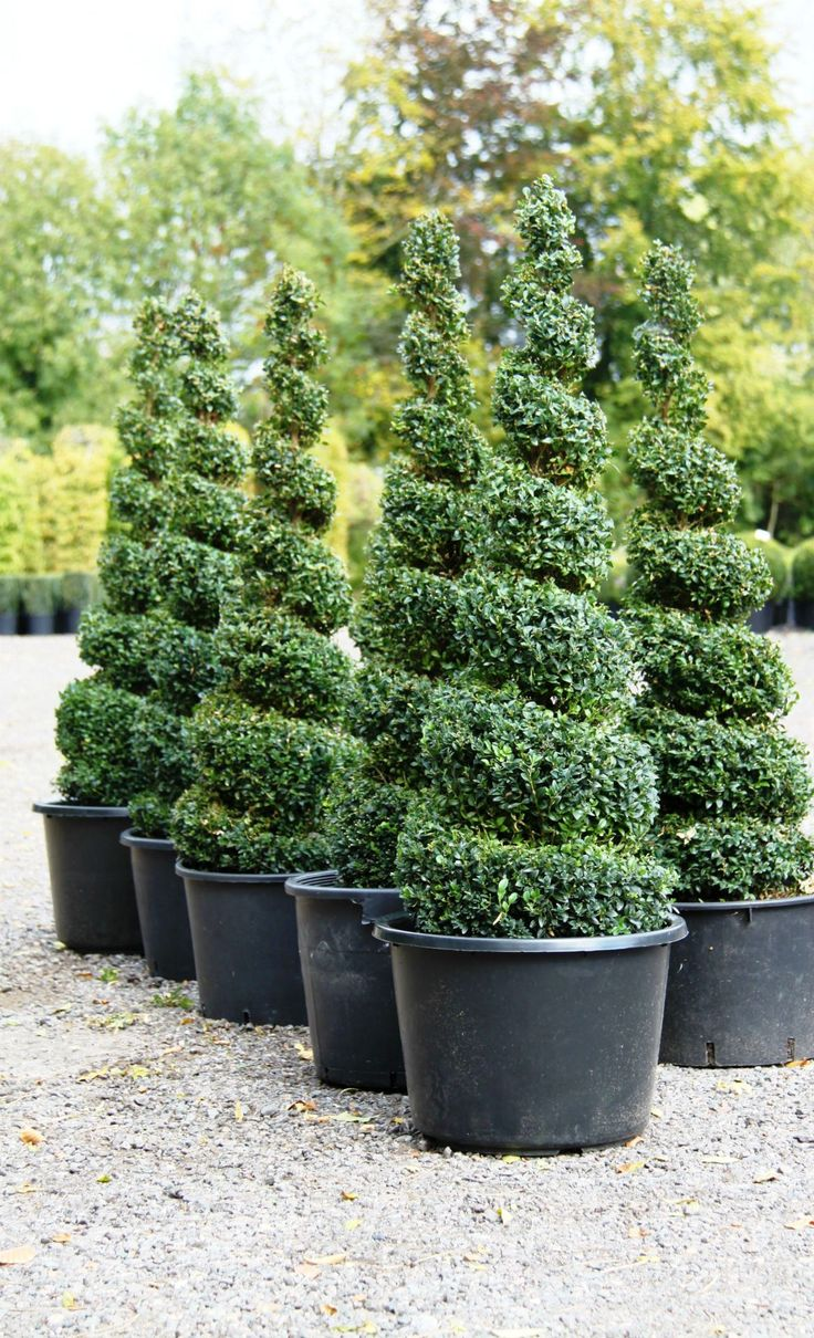 Topiary Spirals from Crown Topiary, Hertford Topiary