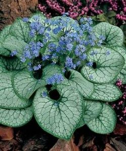 A staple in my shade beds is Brunnera. It self seeds and I love the tiny blue…
