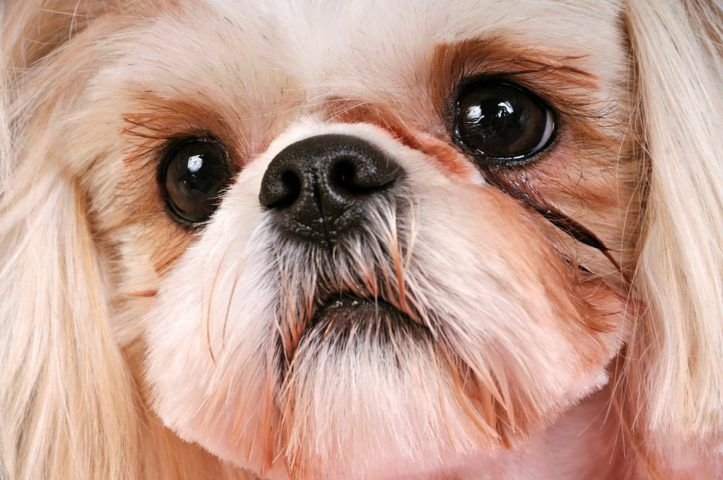 How To Care For Shih Tzu Eyes In Order To Prevent Shih Tzu Eye