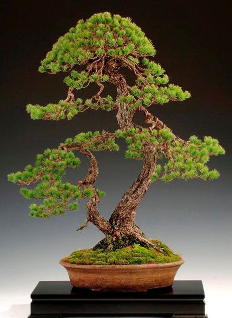 Artist: Steve Tolley Japanese White Pine (Pinus pentaphylla) The Art of  Bonsai Project - Feature Gallery: Pine Bonsai