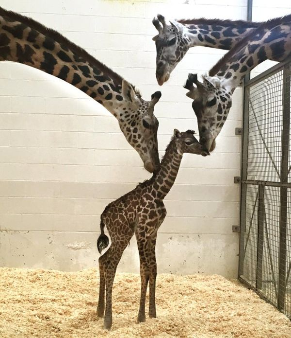Baby Giraffe Arrives In A Hurry Giraffe Cincinnati Zoo