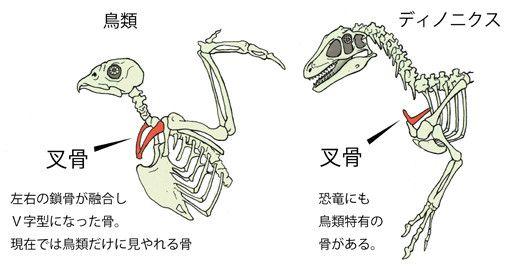 川崎悟司 オフィシャルブログ 古世界の住人 Powered by Ameba-叉骨(恐竜と鳥だけが持つ骨)