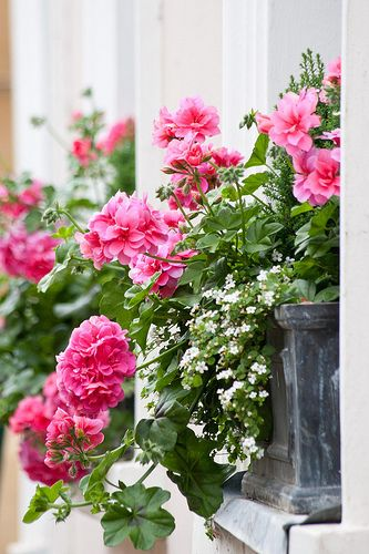 Window boxes with Geranium (Pelargonium) and Bacopa: