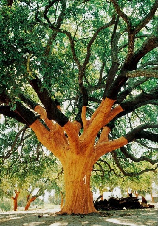 The world's largest cork tree, The Whistler Tree in Alentejo, Portugal