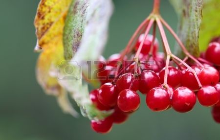 Guelder-rose ordinary on a branch of a tree