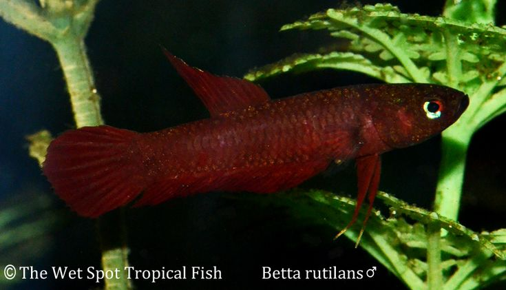 Betta rutilans fire betta freshwater fish all for Labyrinth fish tank