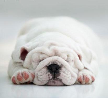 French mini bull dog ...cute!