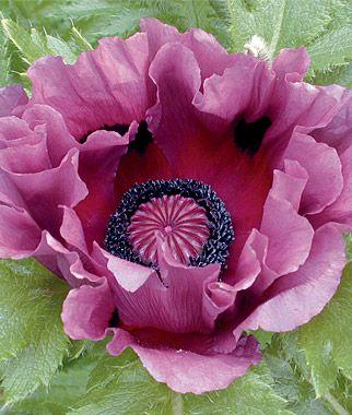 Papaver orientale 'Patty's Plum' (oriental poppy 'Patty's Plum')