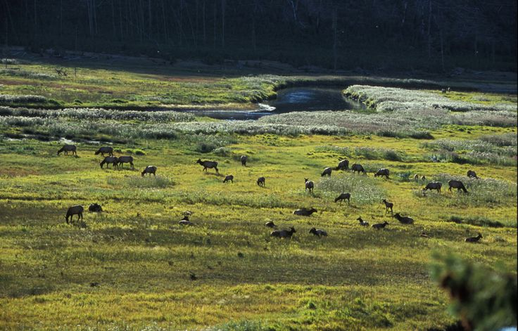 Elk near madison river yellowstone national park all for Yellowstone national park fishing