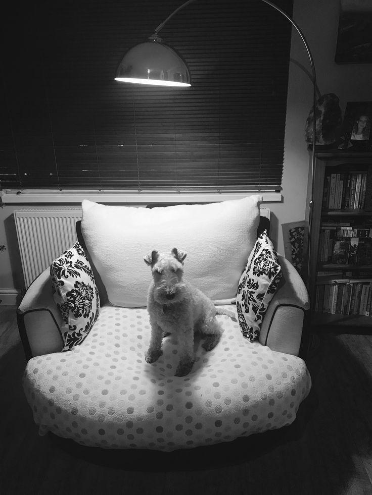 Wire fox terrier in the spotlight... mastermind?!