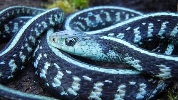 Blue Phase Anerythristic Garter Snake Nature Has The