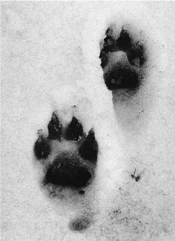 I see my paw prints in the snow, darkened by the ash. I don't know how much longer I can stay in full-wolf form, but I must get as far away as I can possibly can. And it wont be very far with the open wound in my side