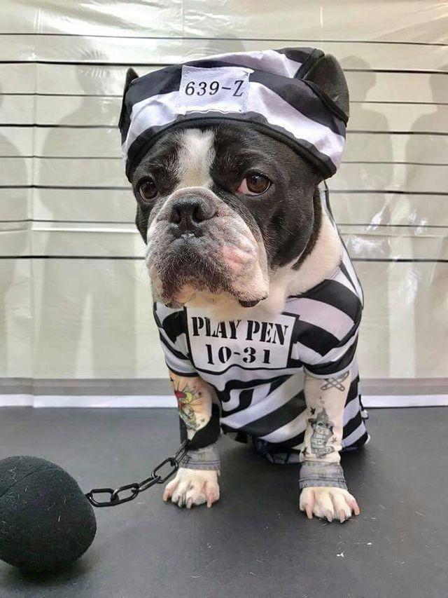French Bulldog in Costume❤
