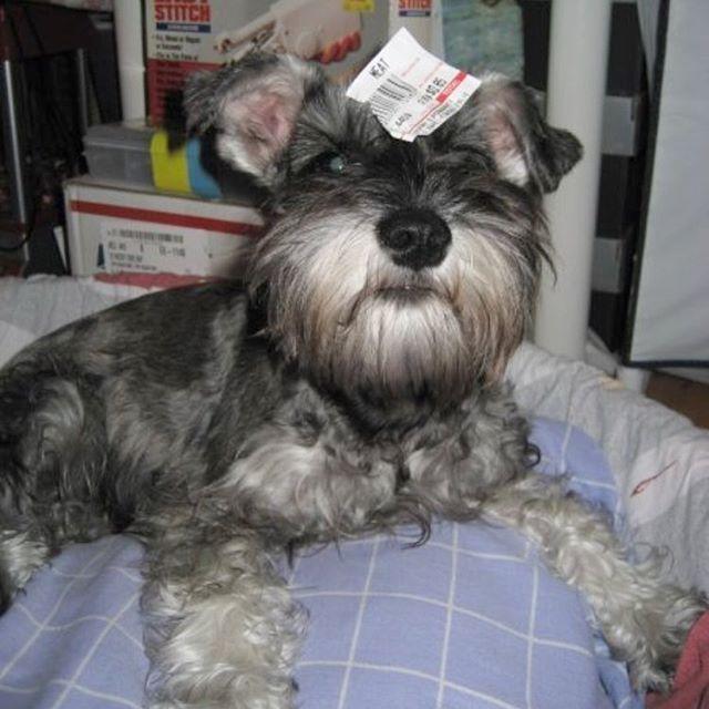 when i was a baby....😁😁 . . #wheniwasababy #puppy #cutedog #kikobu #dog #dogs #dogsofinstagram #dogstagram #instadog #schnauzer #schnauzerlove #minischnauzer #minitureschnauzer #dogslife #dogoftheday #schnauzersofinstagram #dogporn #dogslife #史納莎  #ミニチュアシュナウザー #愛犬 #kikobaby