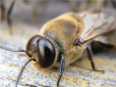 Пчёлы начали выгонять трутней из ульев. Bees began to cast out the drone...