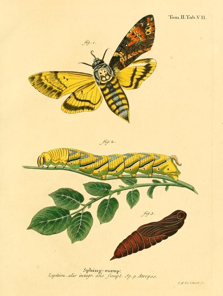 Die Schmetterlinge in Abbildungen nach der Natur v. 2 (plates) Leipzig :T.O. Weigel,[1829-1839] Biodiversitylibrary. Biodivlibrary. BHL. Biodiversity Heritage Library