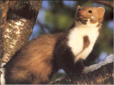 Carnívoro de tamaño medio, de cabeza estrecha, morro afilado, cara en forma de cuña, ojos relativamente grandes y orejas redondeadas. El cue...