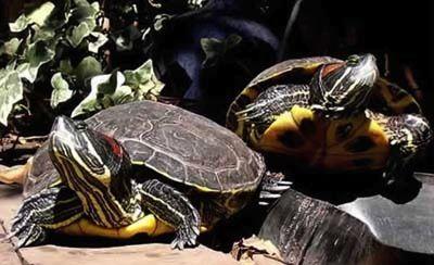 Las Tortugas Acuaticas y su Alimentacion