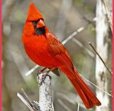 Cardinal Virginia State Bird. I will miss the large and gorgeously varied wild bird life.