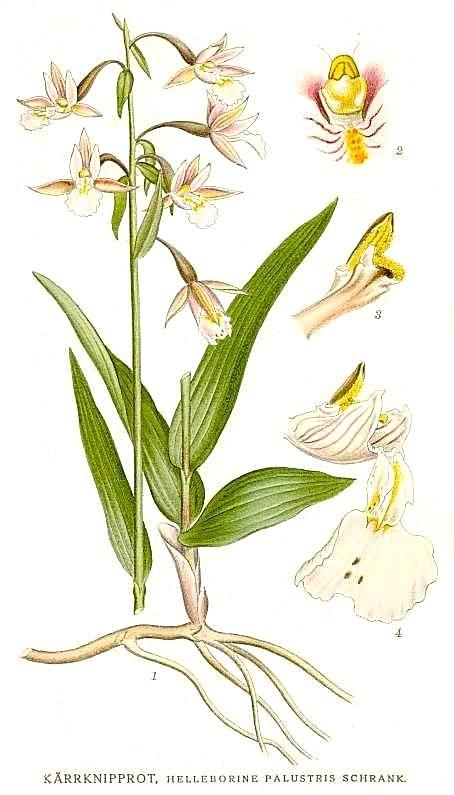 Epipactis_palustris_Nordens_Flora_413.jpg (454×795)