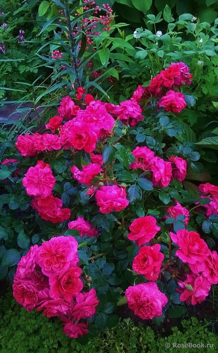 'Sangria'   FL rose. Meilland, 2000