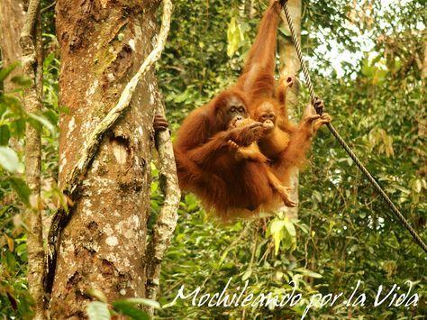 Kuching: Días entre orangutanes, monos narigudos y serpientes borneanas   MOCHILEANDO POR LA VIDA
