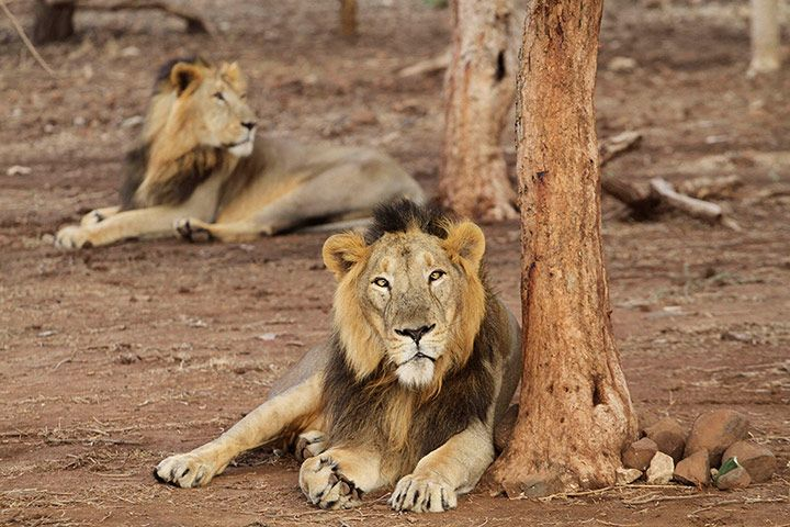 Endangered Asiatic lions at the Gir lion sanctuary at Sasan in Gujarat state, India [Photo: Ajit Solanki]