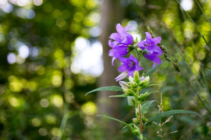 Nettle-leaved Bellflower - Nettle-leaved bellflowers blooming in the forest.