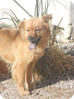 Bellevue, WA - Australian Shepherd/Chow Chow Mix. Meet ALIZA, a dog for adoption. http://www.adoptapet.com/pet/12164993-bellevue-washington-australian-shepherd-mix
