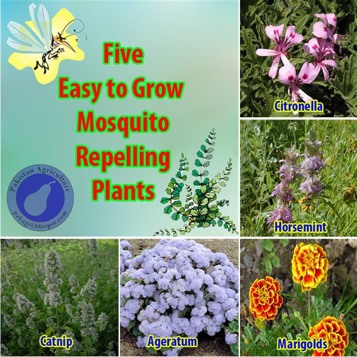 5 easy to grow mosquito repelling plants garden pinterest. Black Bedroom Furniture Sets. Home Design Ideas