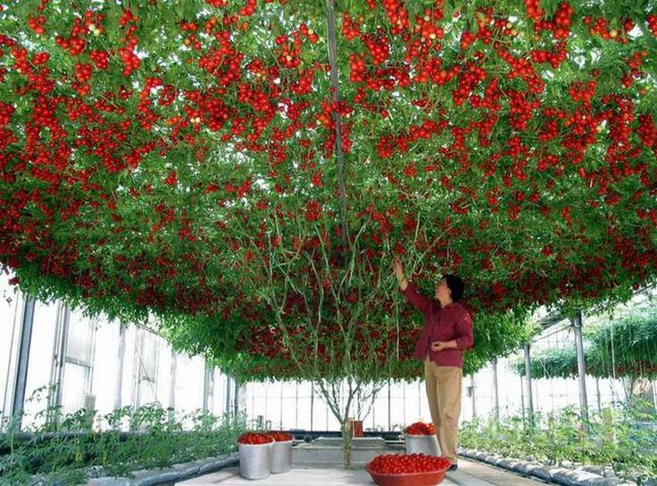 """The """"Octopus"""" Tomato Tree, WOW!!! ...  Grows to 13 feet, 40-50 square meters. Record harvest – 14 000 tomatoes, weighing 1500 kg (3000 lbs.). It is normally held up by a large trellis."""