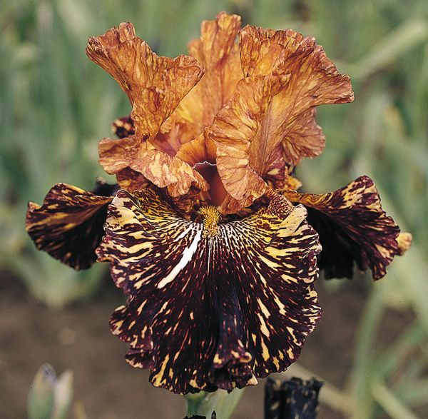 ~ Iris Spiced Tiger ~ I really love this Iris. It is so very different than any other that I have seen and yet it exudes richness with its golden crown and variegated brown petals.