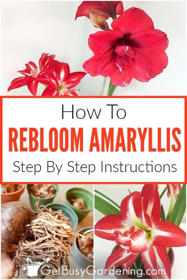 How To Rebloom Your Amaryllis Plants In 2020 Amaryllis Plant Amaryllis Amaryllis Bulbs
