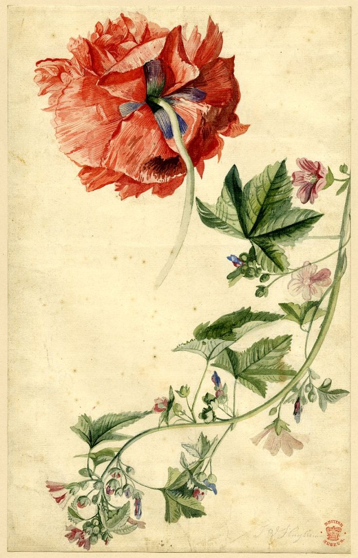 Drawn by: Jan van Huysum -Flower study; a ragged red Poppy and a trailing stem with small red and pink flowers Watercolour, partly strengthened with gum