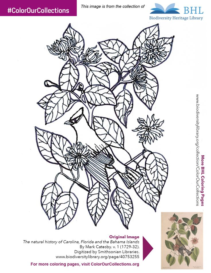 """#ColorOurCollections. Original Image: http://www.biodiversitylibrary.org/page/40753255. To download this image, right click on the pin and choose """"save image as"""" to save the image to your computer. You can then print and color at your leisure!"""