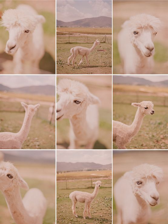this might be some of my favorite elizabeth messina work: Fantastic Models, Animales Potpourri, Beautiful Animal, Alpacas Farms, Animal Crackers, Camels Alpacas, Hoof Animal, Farms Animal, Alpacas Lovers