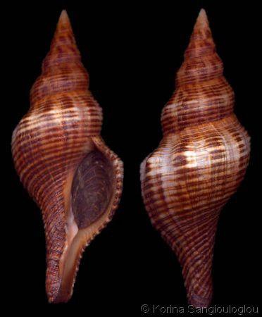 Fasciolaria_filamentosa_2.jpg Filamentous Horse Conch