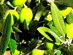 #greek #olives #flora #greece #plants #trees #groves    olive green    The Olive is the fruit of the Olive tree (Olea europaea) and is a major component of the agriculture and gastronomy along the Mediterranean both in Europe and North Africa, as well as in the Middle East.    At the time of the Iliad (dated between the 6th to the 8th c. BC), olive oil was a luxury import (there is no mention of cultivation), ...  Expand this post »