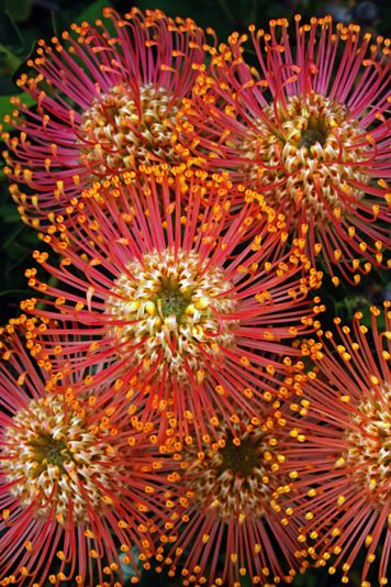 ✯ Protea 'Fireworks' - Pincushion protea - native to South Africa