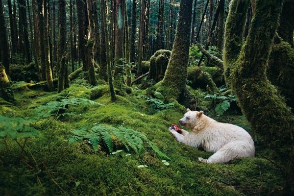 """Sulle tracce dell'orso spirito  Fotografia di Paul Nicklen    Non è né un albino né un orso polare: l'orso kermode (Ursus americanus kermodei) è una sottospecie di orso nero americano che vive quasi esclusivamente nella Great Bear Rainforest della British Columbia, in Canada.     """"Paul Nicklen è uno specialista nell'avvicinarsi al soggetto. In questo caso si è avvicinato quanto basta per immortalare questa splendida foresta e quest'orso intento a divorare un pezzo di salmone, e fonderli…"""