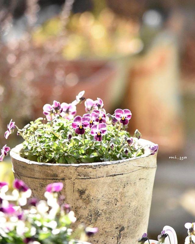 * #my_garden #庭 #ガーデニング  #ビオラ  #つぶらなタヌキ  つぶらなタヌキあずき · 今日も一日 お疲れさまでした